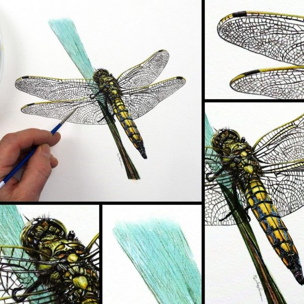 Dragonfly painted in watercolor by Paul Hopkinson, image showing close up detail