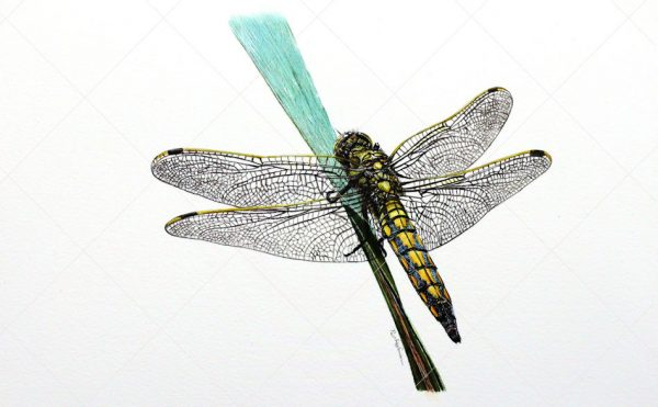 Dragonfly painted in watercolour by Paul Hopkinson
