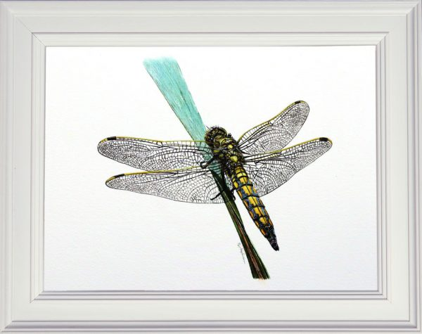 Dragonfly watercolour painting by Paul Hopkinson framed