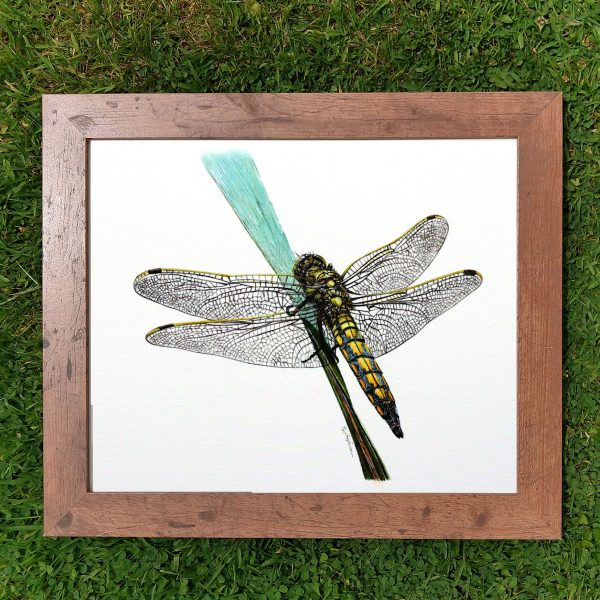 Framed realistic watercolor black tailed skimmer dragonfly by Paul Hopkinson