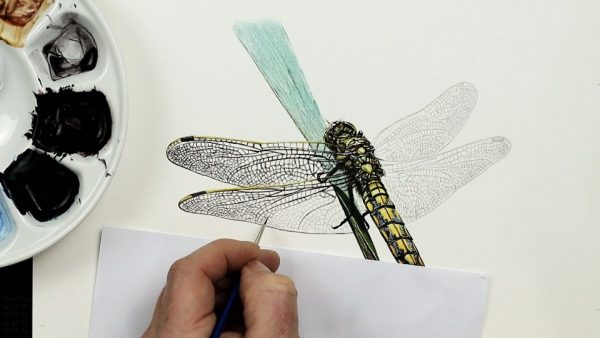 The painting stages of a watercolour dragonfly by Paul Hopkinson - step 4
