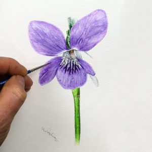 Paul Hopkinson botanical watercolour study of a violet flower