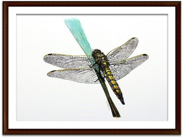 Watercolor painting of a dragonfly by Paul Hopkinson mounted and framed