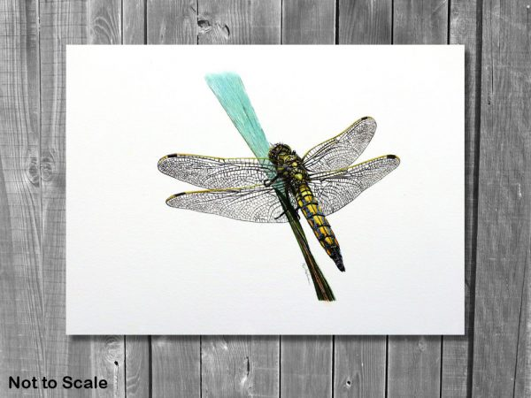 Watercolor painting of a dragonfly by Paul Hopkinson on a wall