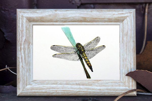 Watercolour painting of a dragonfly by Paul Hopkinson in a rustic frame