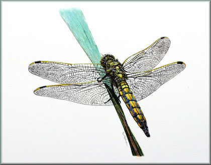 Button link to a dragonfly watercolour video tutorial