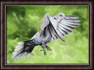 Original watercolor painting of a Collared Dove by Paul Hopkinson