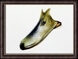 Original watercolor beak study by Paul Hopkinson