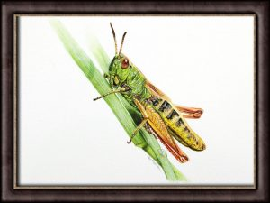 Original watercolor painting of a Grasshopper by Paul Hopkinson